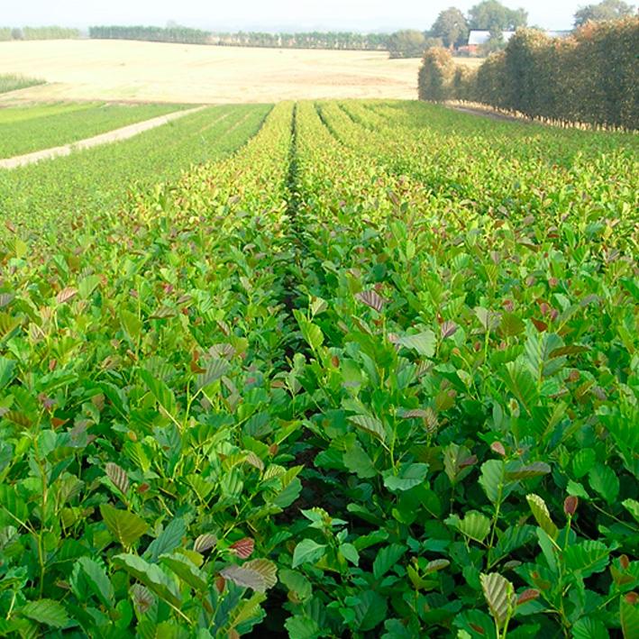 Højgård Planteskole/Nursery - Produkter - Hæk- læ- og skovplanter - Alnus glutinosa