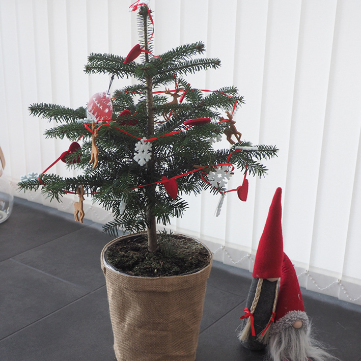 Small Nordmann fir